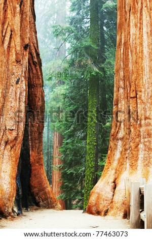 sequoias - stock photo