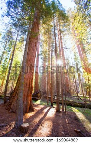 Sequoias in Mariposa grove at Yosemite National Park California - stock photo