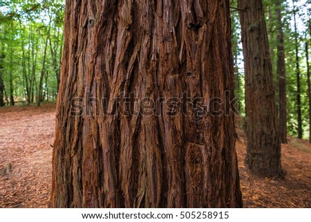 Sequoias of the Natural Monument of Monte Cabezon, Cantabria (Spain)