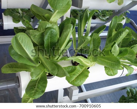 SERDANG, MALAYSIA -DECEMBER 06, 2017: Crop planted using hydroponic technique. Crop supplied by nutrient using water as the medium.