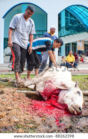 SEREMBAN, MALAYSIA - NOVEMBER 6: Unidentified Malaysian Muslims help in slaughtering a cow during Eid Al-Adha Al Mubarak, the Feast of Sacrifice on November 6, 2011 in Seremban, Malaysia. - stock photo