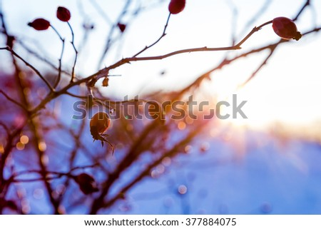 serene winter landscape with briar branches against sunset
