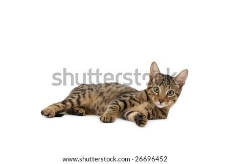 Serengeti kitten lying on white background - stock photo