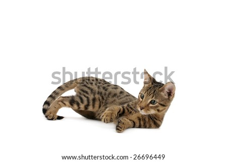 Serengeti kitten playing on white background - stock photo