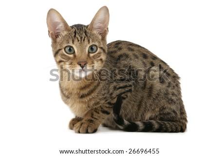 Serengeti kitten sitting on white background - stock photo