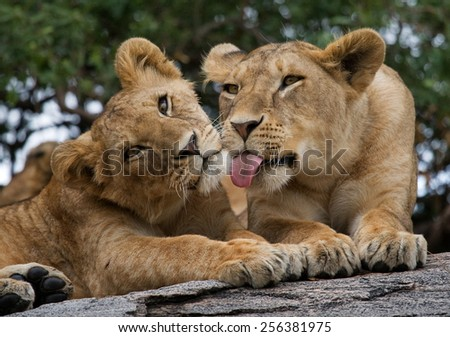 Serengeti National Park. Two young lion in the savanna.  - stock photo