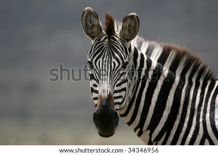 Serengeti Wildlife Conservation Area, Safari, Tanzania, East Africa - stock photo