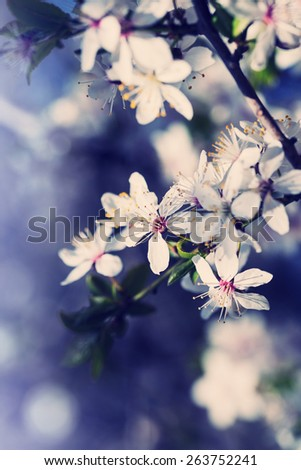 Serfect spring cherry blossom tree in garden - stock photo