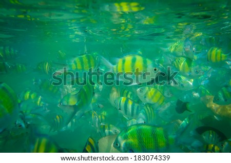 Sergeant major damsel  - a large, colourful damselfish - stock photo