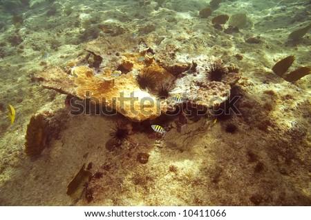 sergeant major damselfish and black spiny urchins on coral in caribbean sea near roatan - stock photo