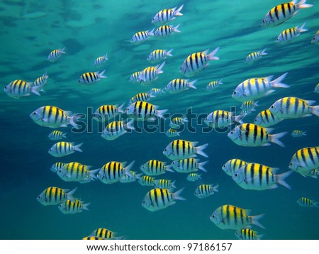 Sergeant-major fish school with water surface in background, underwater Caribbean sea