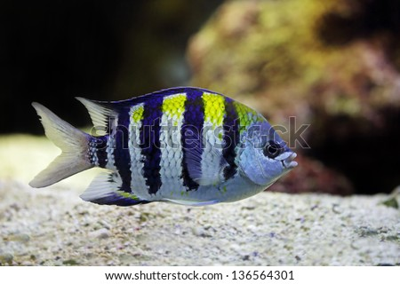Sergeant Major fish swims among the corals - stock photo