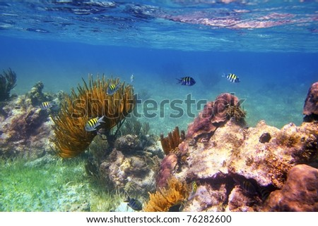 Sergeant Major fishes in caribbean reef Mexico Mayan Riviera [Photo Illustration] - stock photo