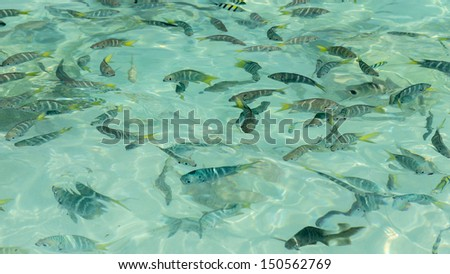 Sergeant Major fishes in turquoise clear sea
