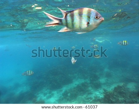 Sergeant major reef fish swimming above corals in shallow water