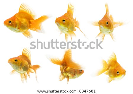 Series of red ryukin goldfish swimming against white background. - stock photo
