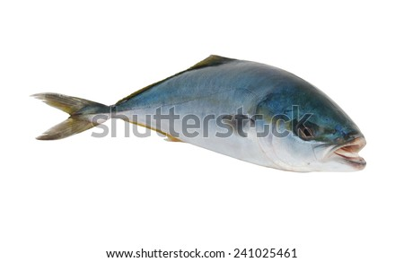 Seriola dumerili fish or greater amberjack fish isolated on white background  - stock photo