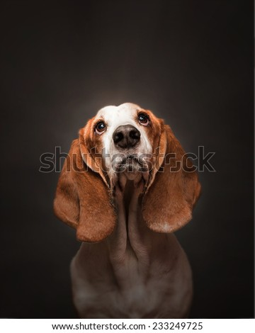 Serious basset hound - stock photo