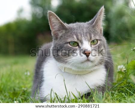 Serious cat, proud cat, funny cat, grey cat, domestic animal, grey serious cat in blurry nature background, fat cat, cat close up,domestic animal, serious cat - stock photo