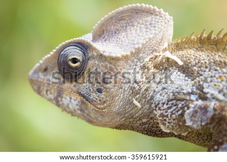 Serious chameleon head close up in Madagascar
