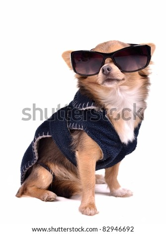 Serious chihuahua dog wearing dark blue jacket and black sunglasses, studio shot