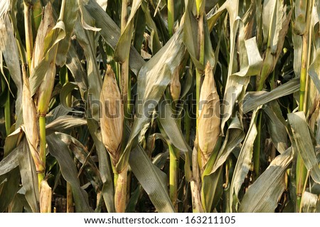 Serious damage of the corn , disaster  - stock photo