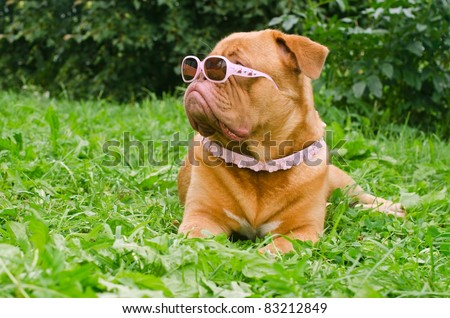 Serious dog of Dogue De Bordeaux breed wearing pink glasses and collar, lying in the summer garden