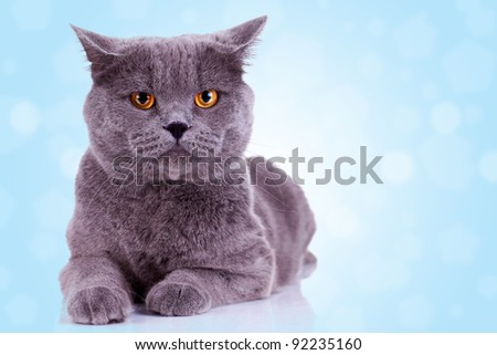 serious english cat looking at the camera on blue background - stock photo