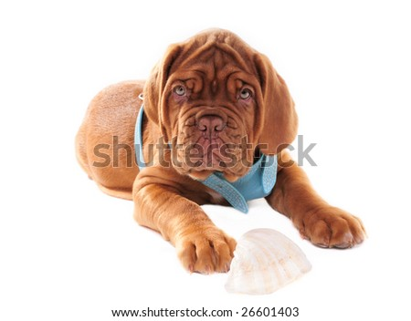 Serious look of Cute Puppy - stock photo