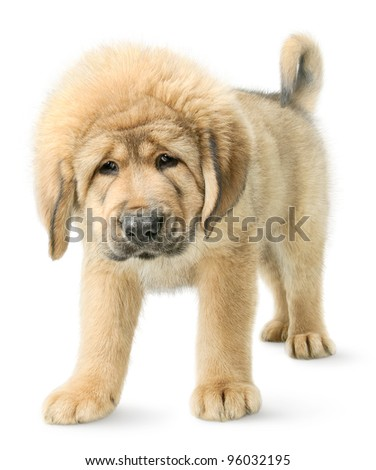 Serious puppy Tibetan mastiff looking straight in camera isolated on white - stock photo