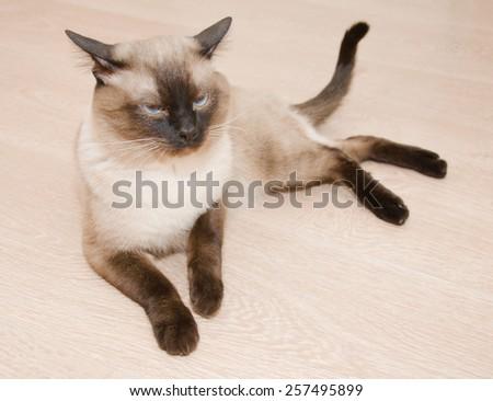 Serious Thai cat lies on the floor  - stock photo