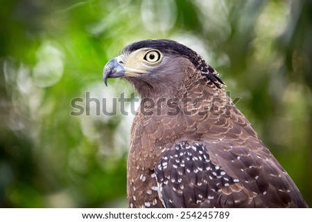 Serpent Eagle, Crested Serpent Eagle(Spilornis cheela) - stock photo