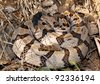 Serpent in the grass - coiled viper in the wild, a Timber Rattlesnake, Crotalus horridus - stock photo