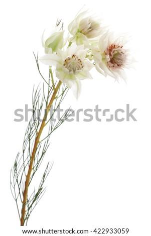 Serruria isolated on white background - stock photo