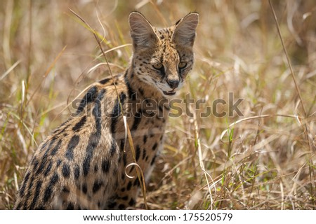 Serval at the Masai Mara National Park, looking out for prey - stock photo