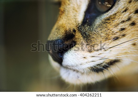 serval ca, focus on the nose - stock photo
