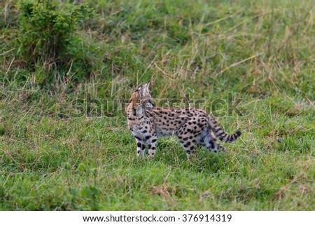 Serval cat cub looking back to mother in Masai Mara, Kenya - stock photo