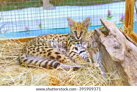 Serval cat in cage - stock photo