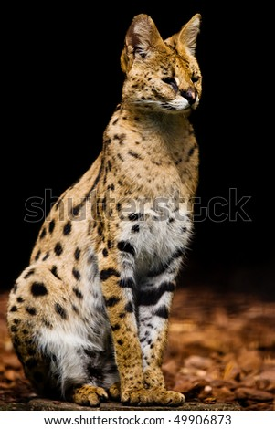 Serval sitting on the ground against the black background - stock photo