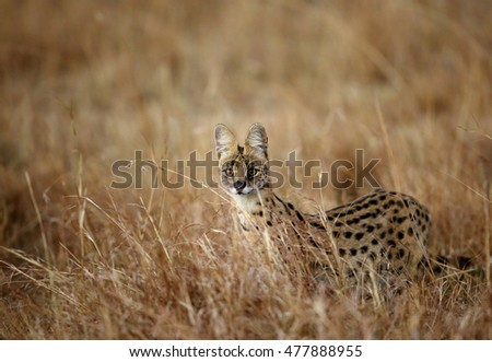 Serval wild cat in the Savannah of Masai Mara