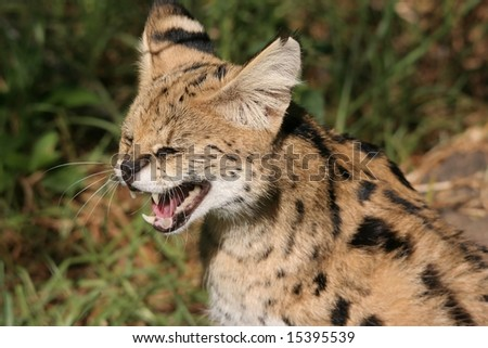 Serval wild cat snarling in the African bush