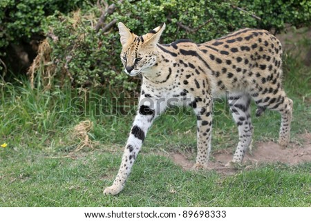 Serval wild cat with beautiful spotted fur and long legs - stock photo