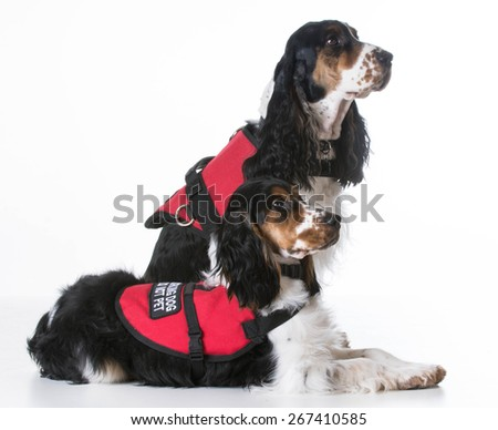 service dogs - two english cocker spaniels wearing vests on white background - stock photo