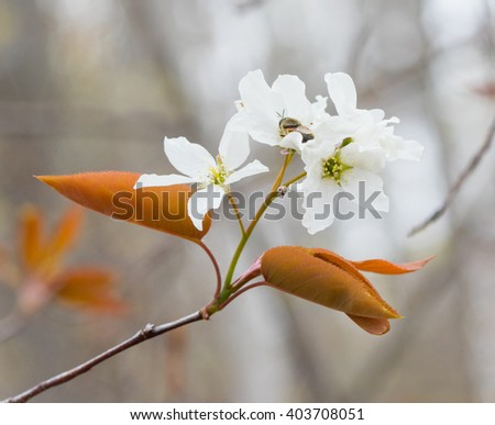 Serviceberry (Amelanchier) flower blossoms in early spring - stock photo