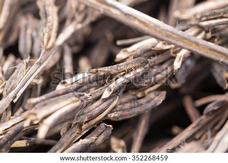 sesame seed pod in autumn after harvesting - stock photo
