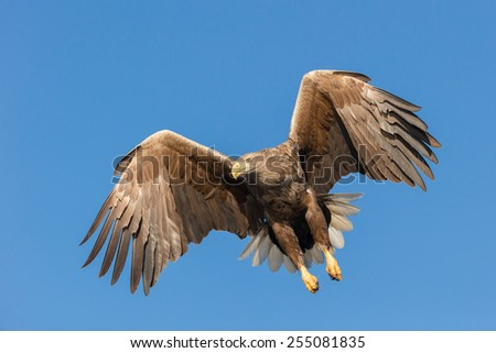 Set against a vivid blue winter sky this White-tailed Eagle is pulling up after a failed attempt to catch a fish from the cold coastal waters of Norway. - stock photo