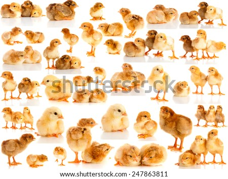 Set chicken on a white background, isolated.