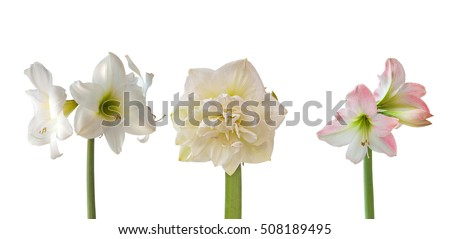 Set flowers Hippeastrum on white background isolated