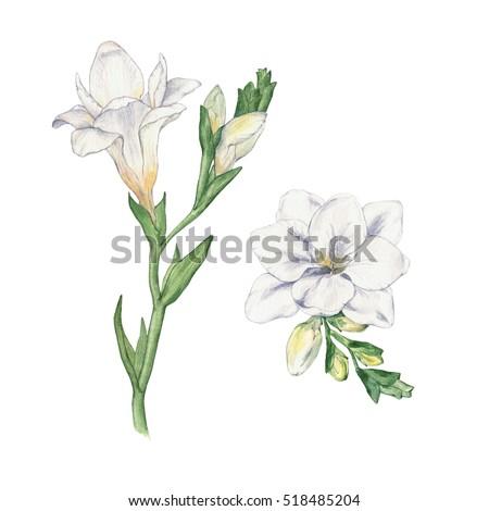 Set freesia flowers watercolor handmade drawing stock illustration set freesia flowers watercolor handmade drawing isolated on white mightylinksfo