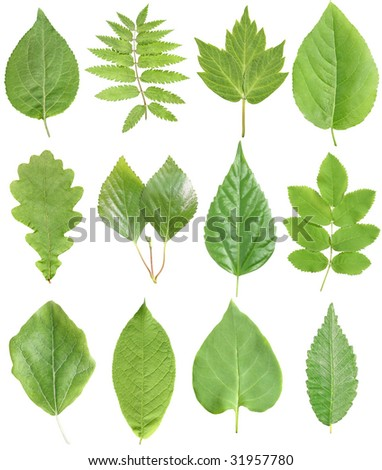 Set from leafs on a white background. - stock photo